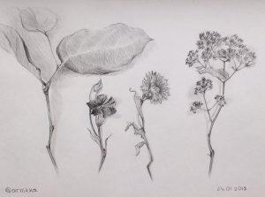 мой рисунок карандашом растения